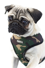 Top Pug Army Adorable Dog - army-pug1  Picture_22294  .jpg