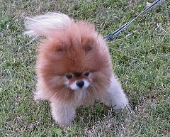 rottweiler | A Pug's Diary...White Pomeranian Lion Cut